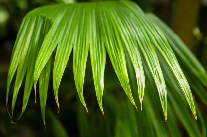 Toquilla Palm Leaf