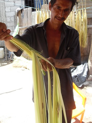 Shredding Toquilla Stalk