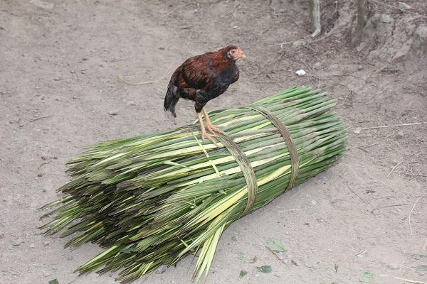 Toquilla Stalk with Hen