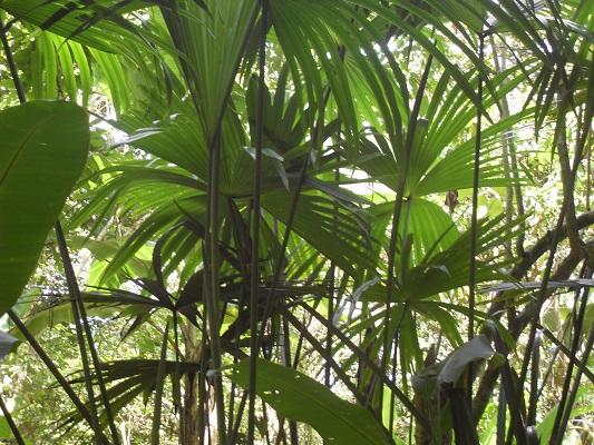 Tall Toquilla Palms