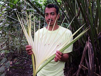 Open Toquilla Straw Stalk