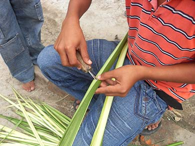 Opening Toquilla Straw Stalks