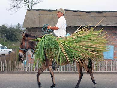 Transporting Toquilla Straw